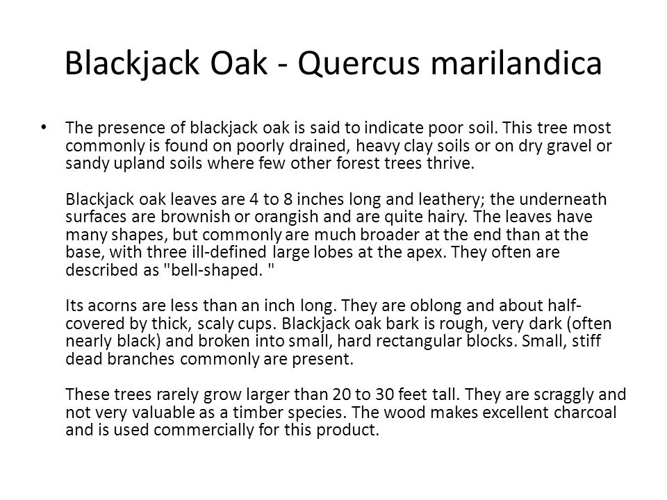 Blackjack Oak - Quercus marilandica