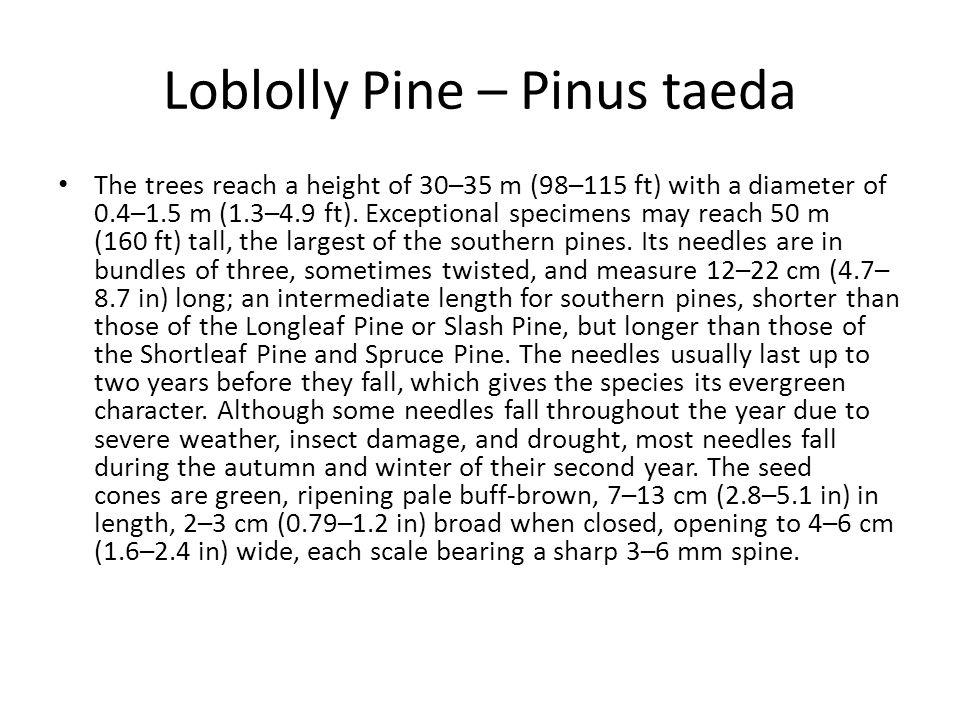 Loblolly Pine – Pinus taeda
