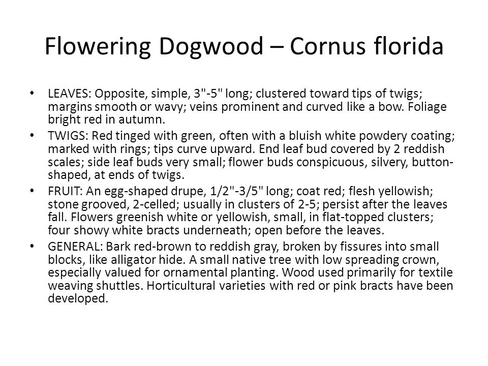 Flowering Dogwood – Cornus florida