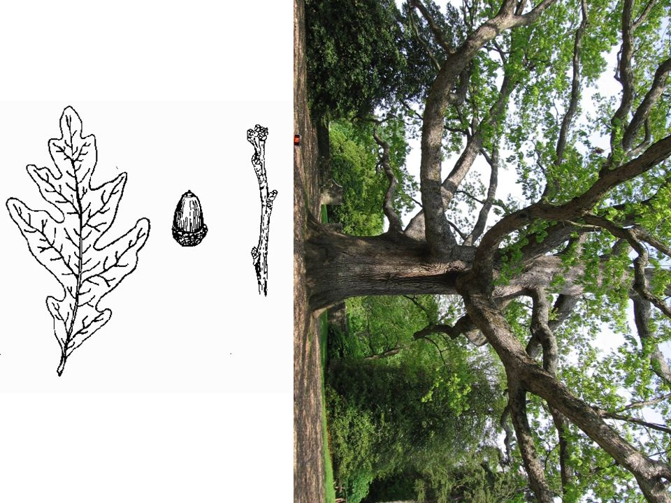 White Oak – Quercus alba