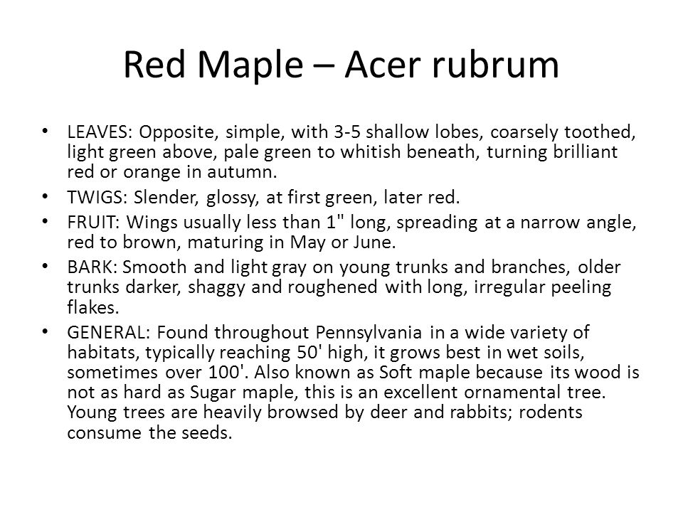 Red Maple – Acer rubrum