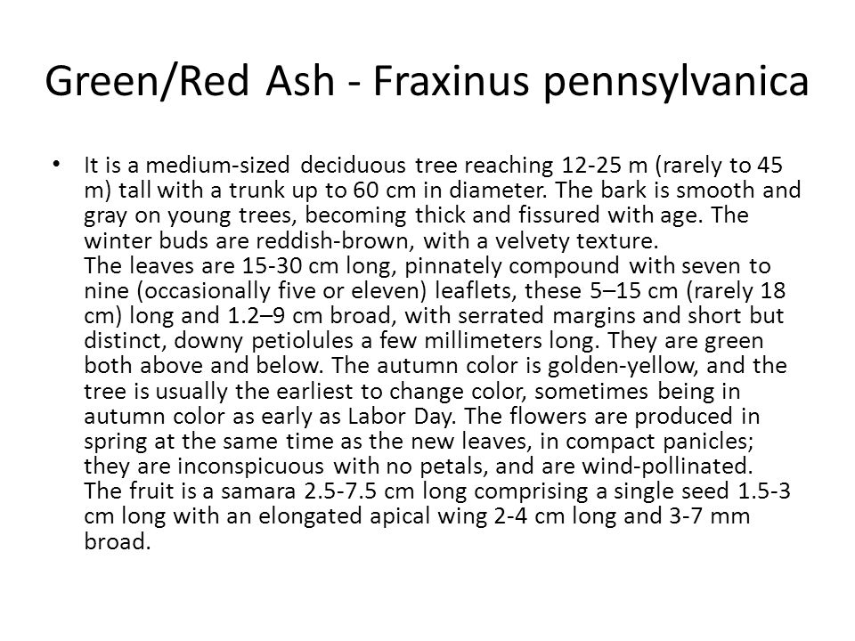 Green/Red Ash - Fraxinus pennsylvanica