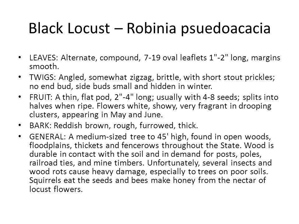 Black Locust – Robinia psuedoacacia
