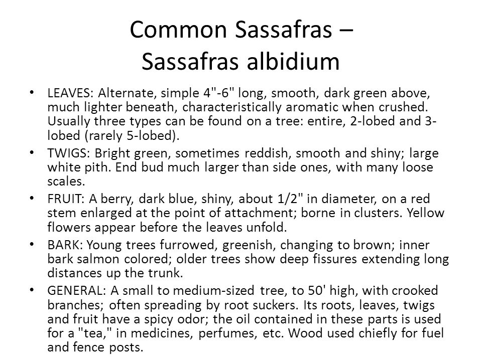 Common Sassafras – Sassafras albidium