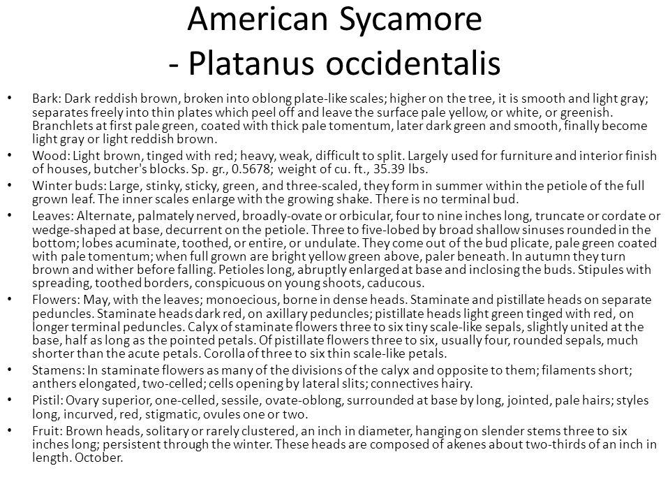American Sycamore - Platanus occidentalis