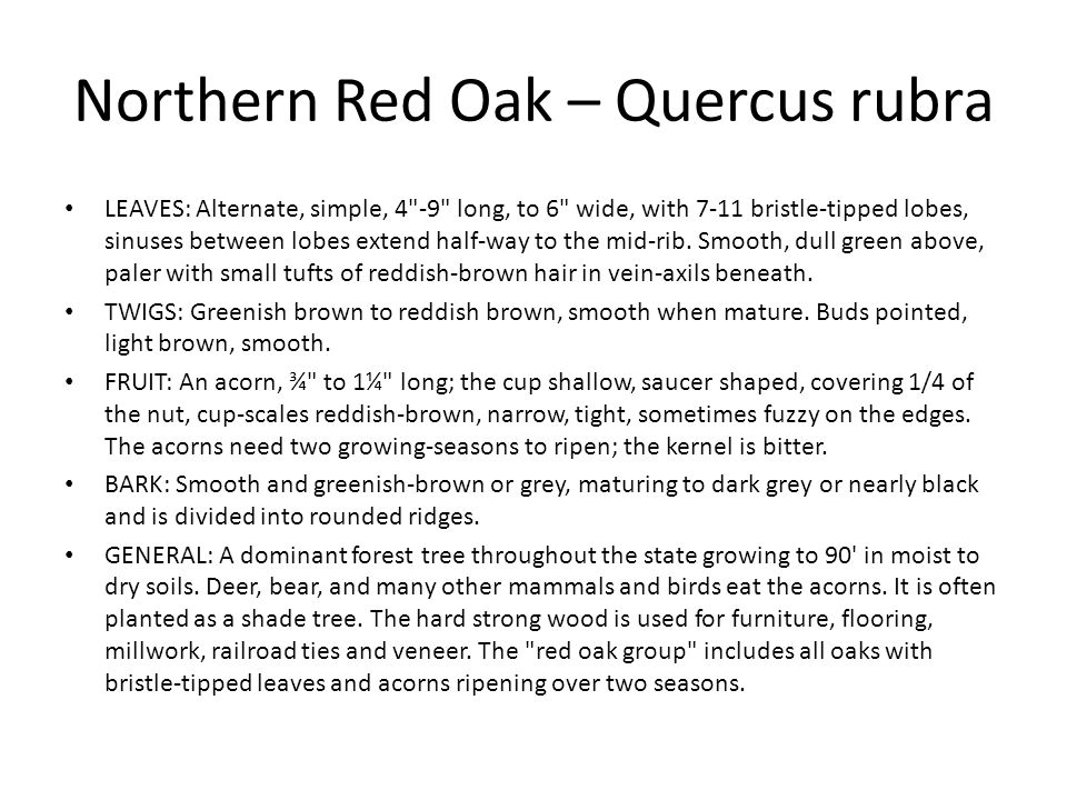Northern Red Oak – Quercus rubra