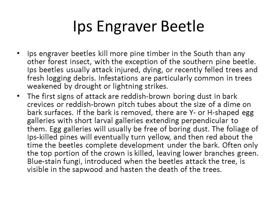Ips Engraver Beetle