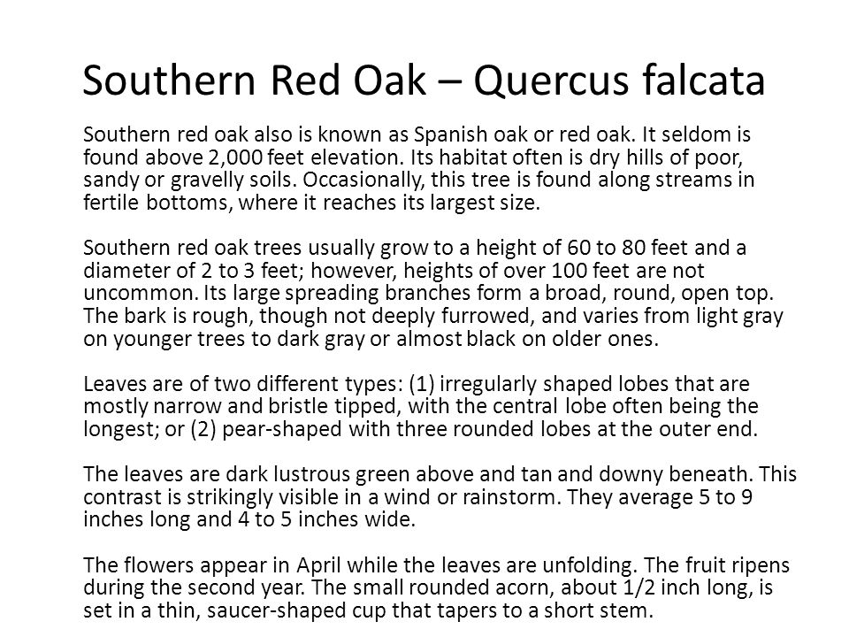 Southern Red Oak – Quercus falcata