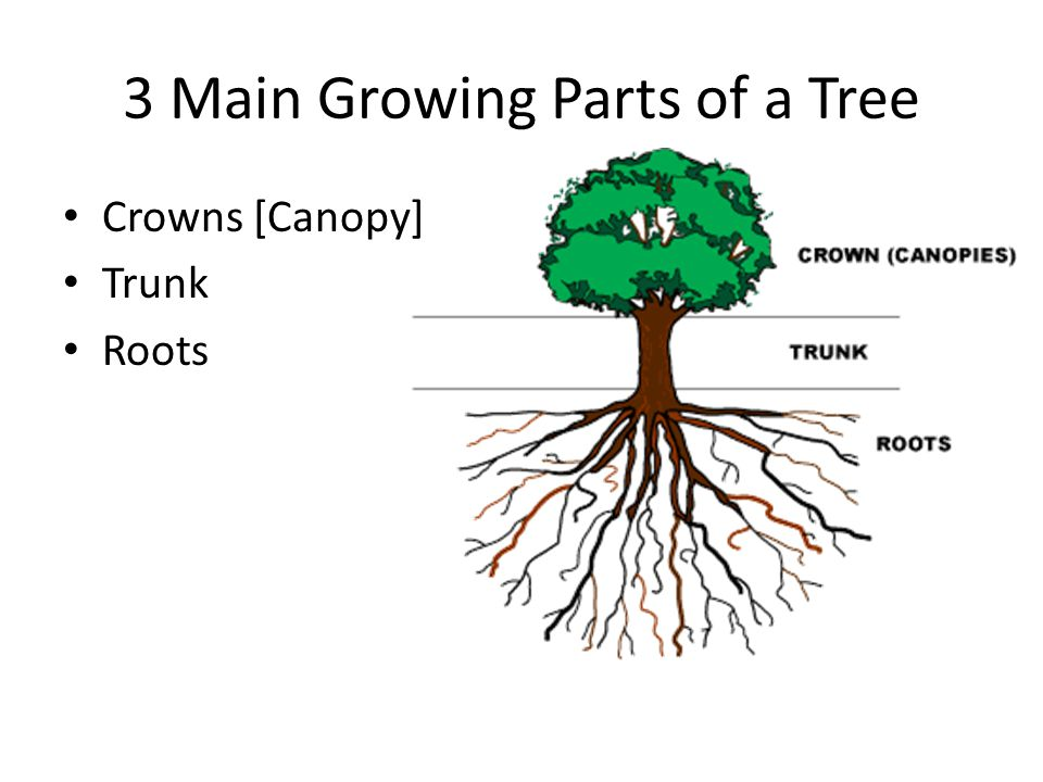 3 Main Growing Parts of a Tree