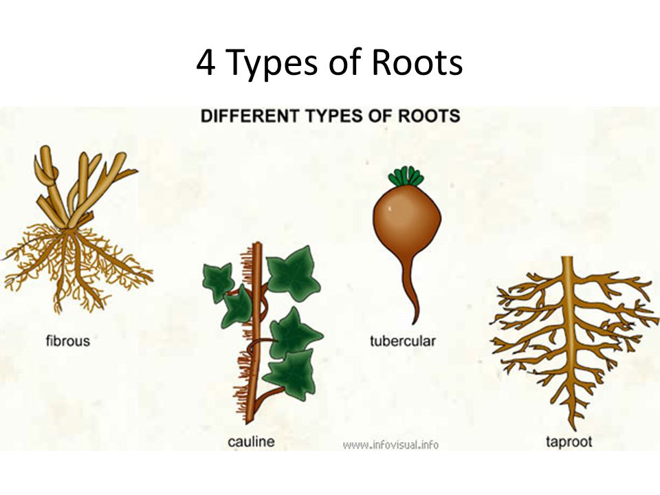 4 Types of Roots