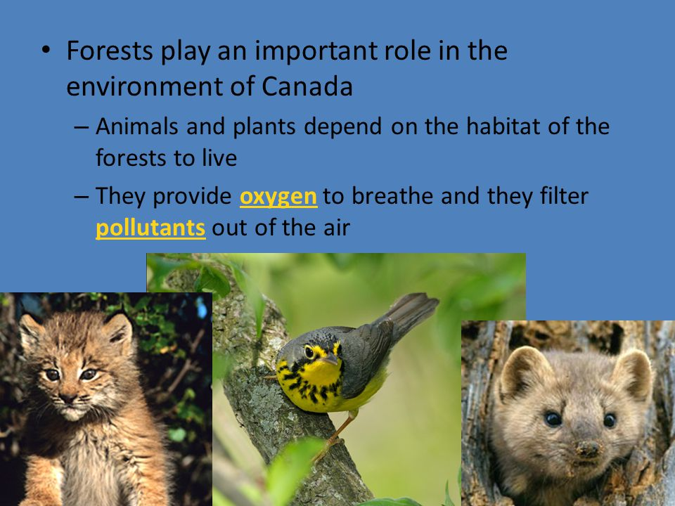 Forests play an important role in the environment of Canada