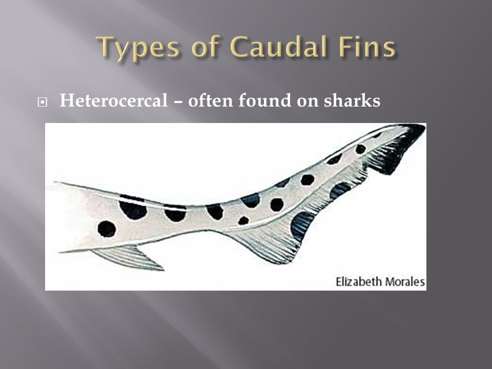 Types of Caudal Fins Heterocercal – often found on sharks