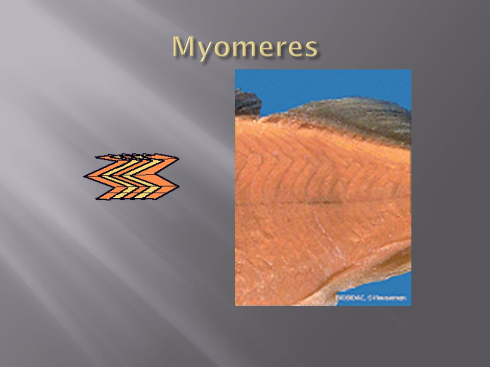 Myomeres