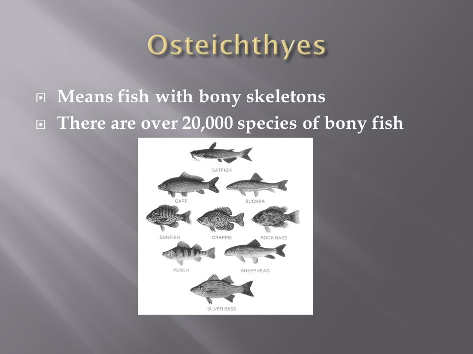 Osteichthyes Means fish with bony skeletons