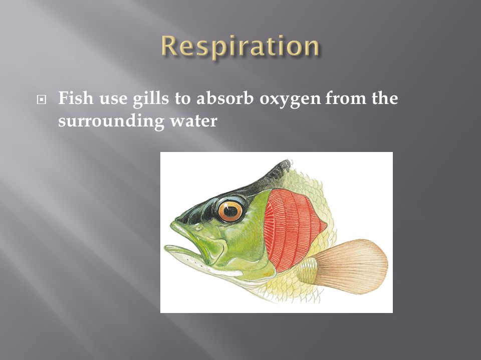 Respiration Fish use gills to absorb oxygen from the surrounding water