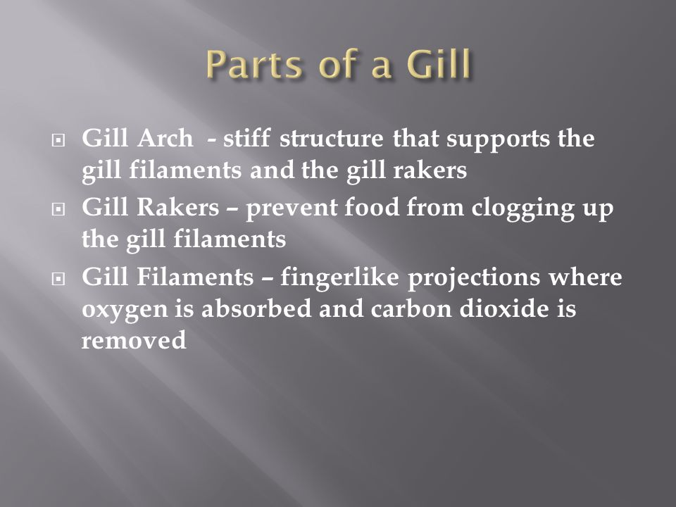 Parts of a Gill Gill Arch - stiff structure that supports the gill filaments and the gill rakers.