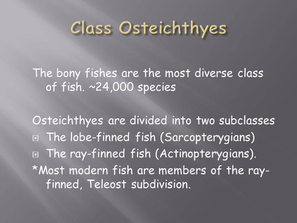 Class Osteichthyes The bony fishes are the most diverse class of fish. ~24,000 species. Osteichthyes are divided into two subclasses.
