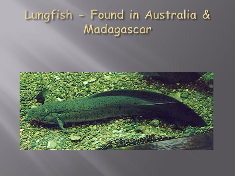 Lungfish - Found in Australia & Madagascar