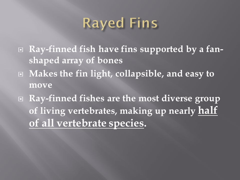 Rayed Fins Ray-finned fish have fins supported by a fan-shaped array of bones. Makes the fin light, collapsible, and easy to move.