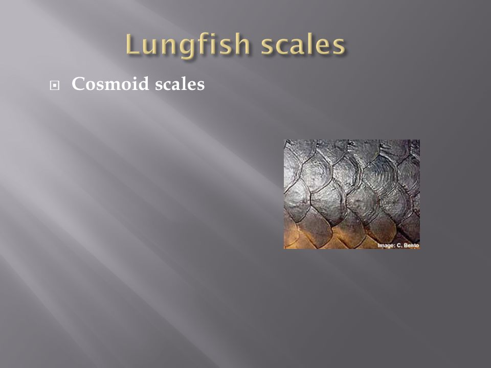 Lungfish scales Cosmoid scales