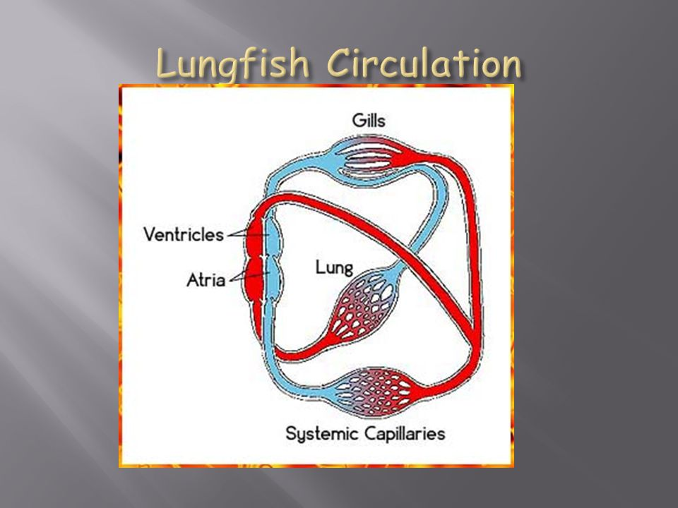 Lungfish Circulation