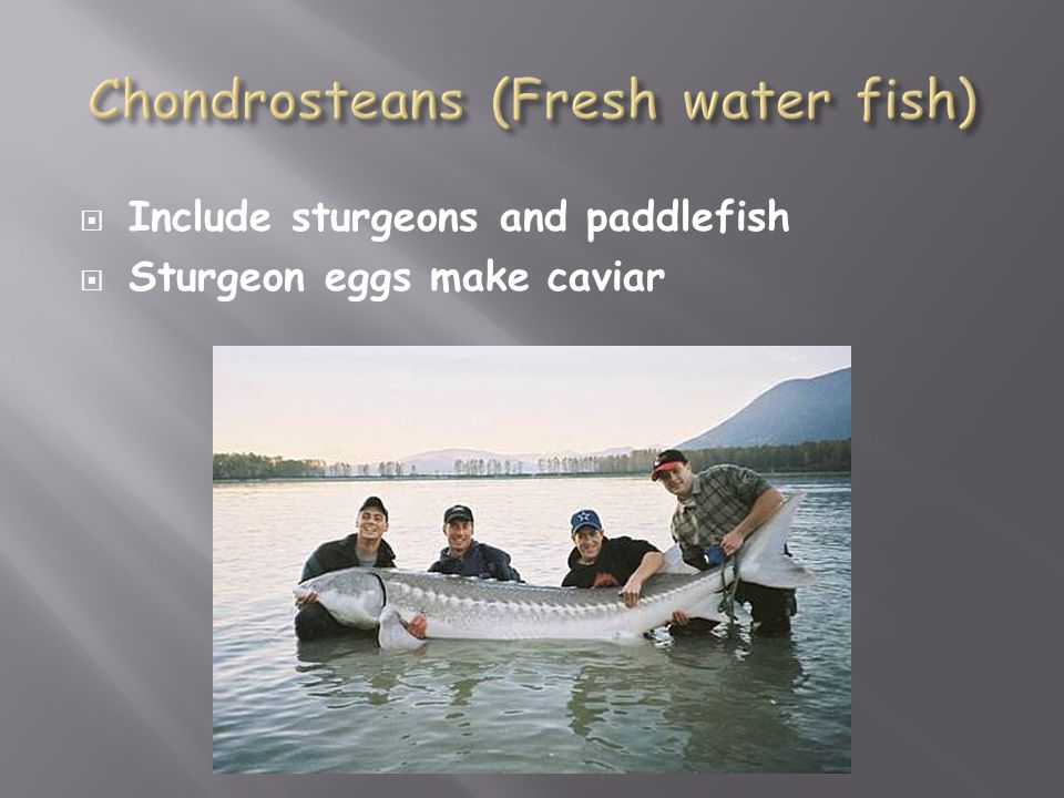 Chondrosteans (Fresh water fish)