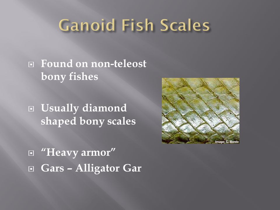 Ganoid Fish Scales Found on non-teleost bony fishes