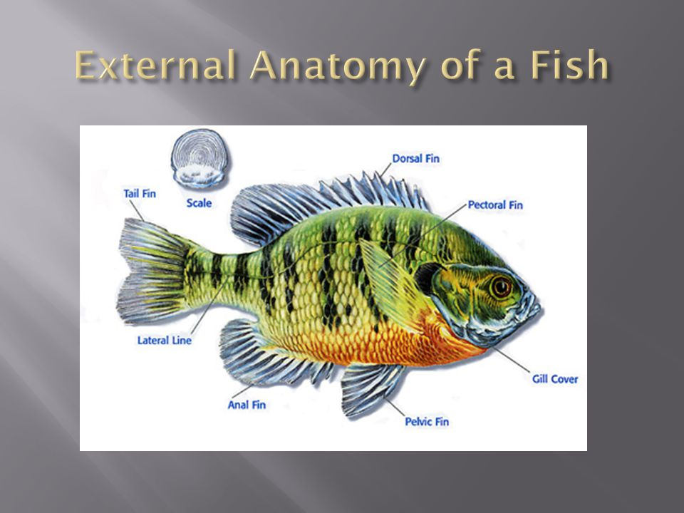 External Anatomy of a Fish