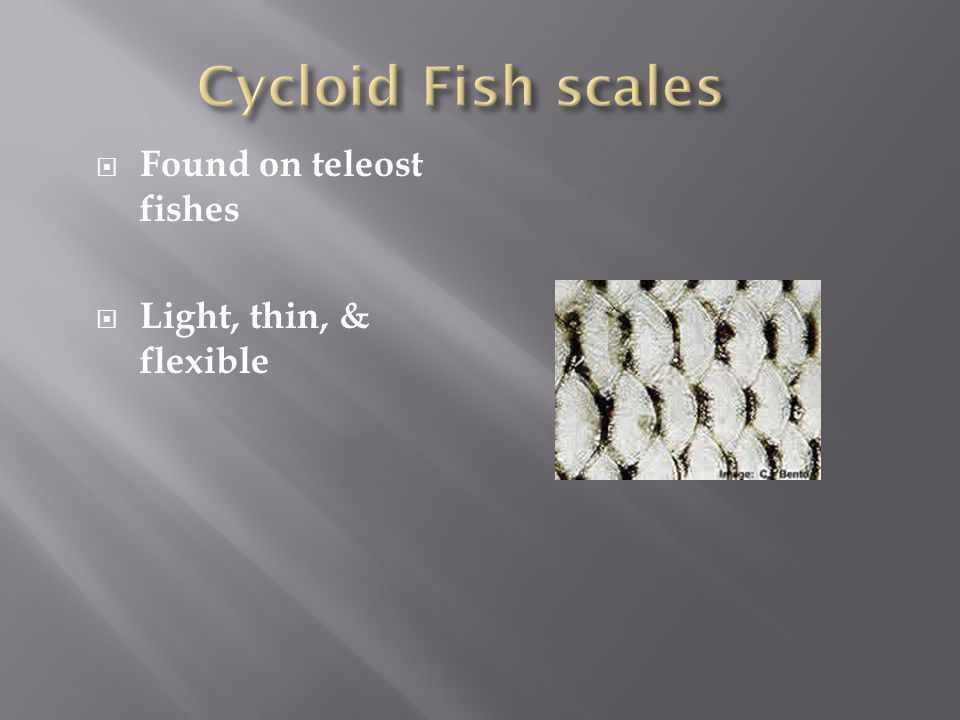 Cycloid Fish scales Found on teleost fishes Light, thin, & flexible