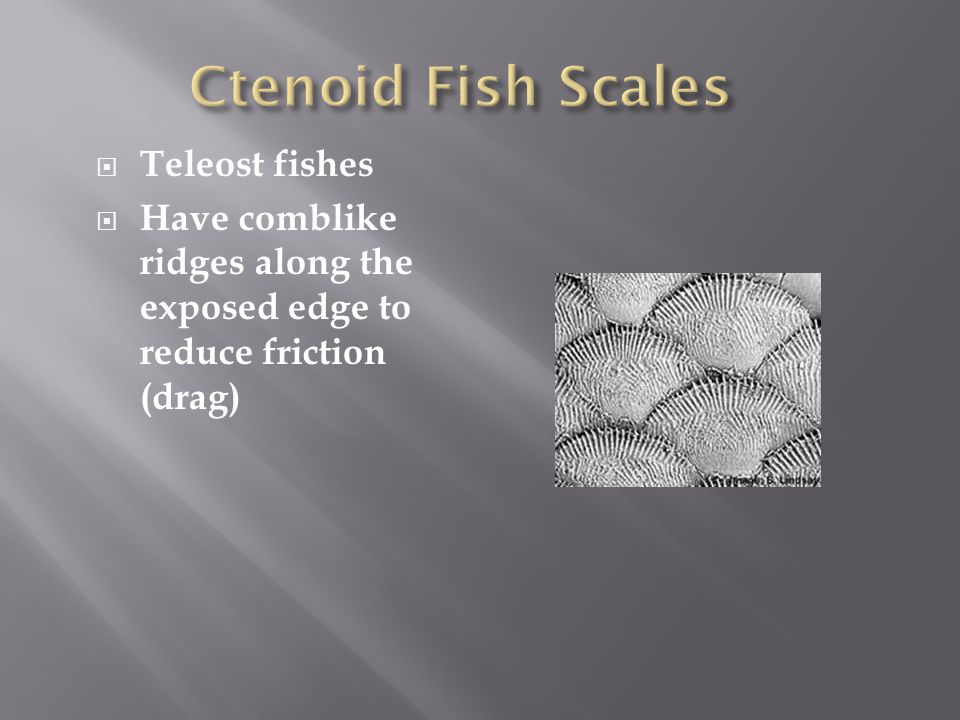 Ctenoid Fish Scales Teleost fishes