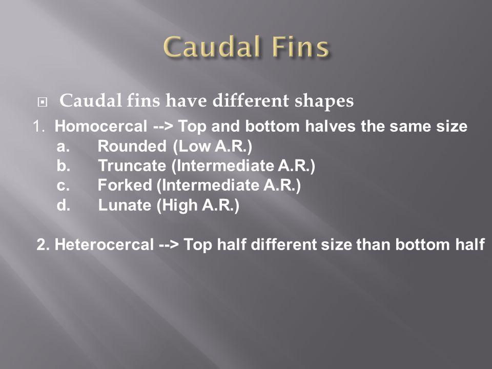 Caudal Fins Caudal fins have different shapes