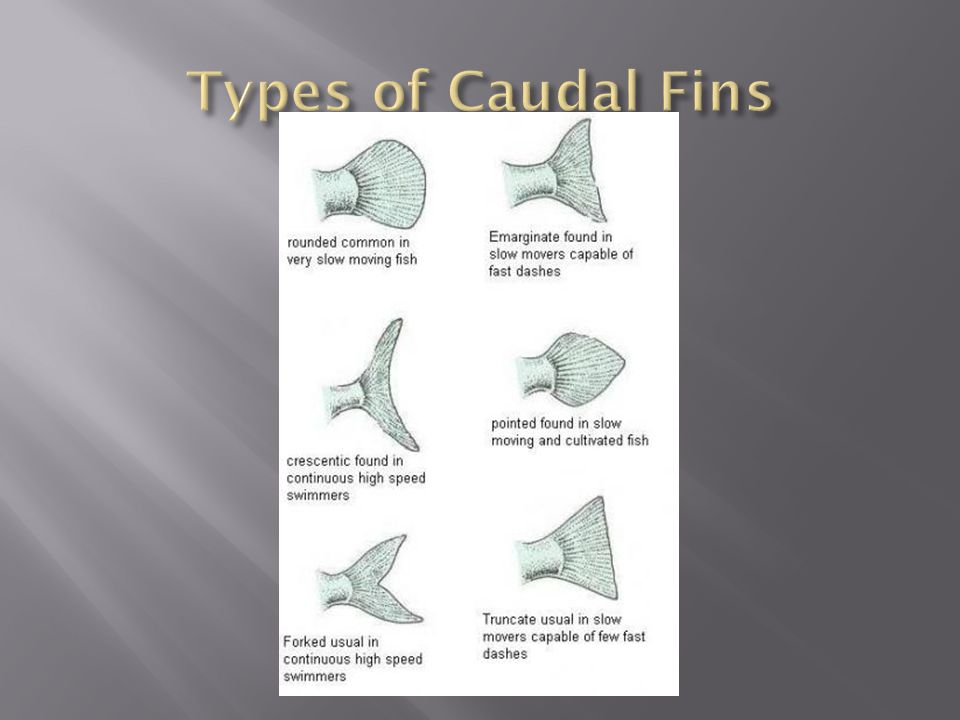 Types of Caudal Fins