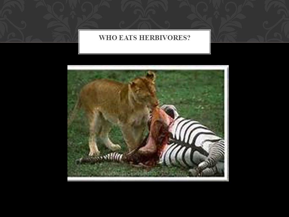 who eats herbivores