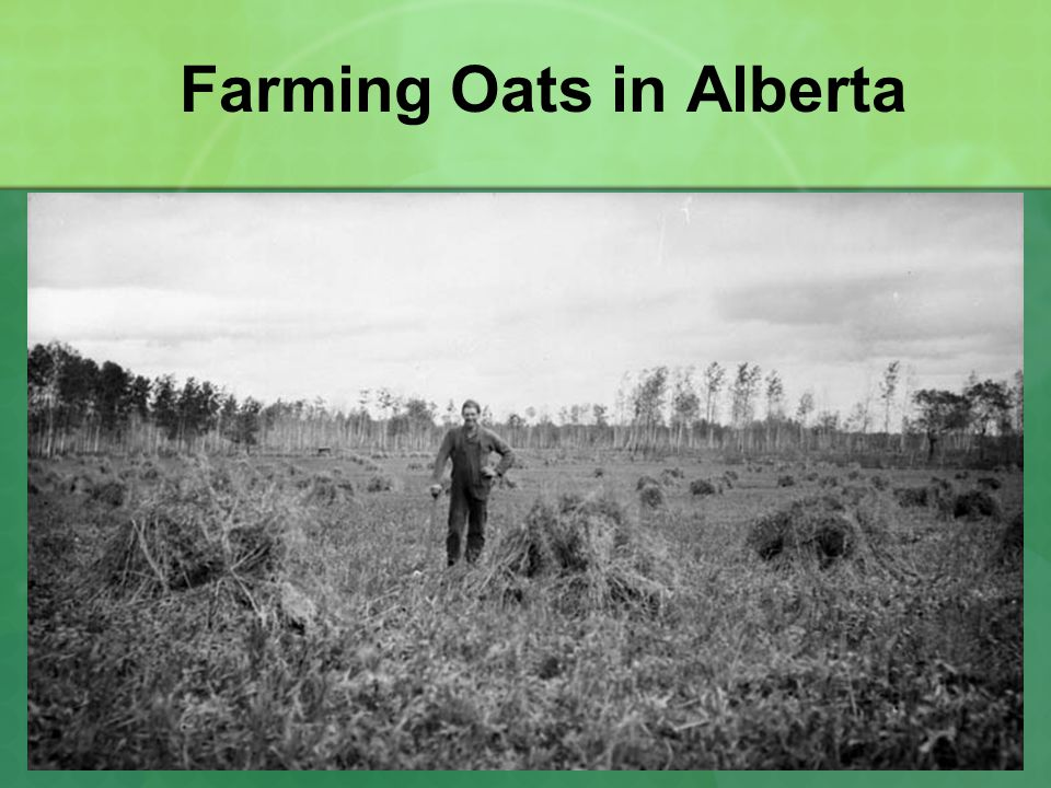 Farming Oats in Alberta