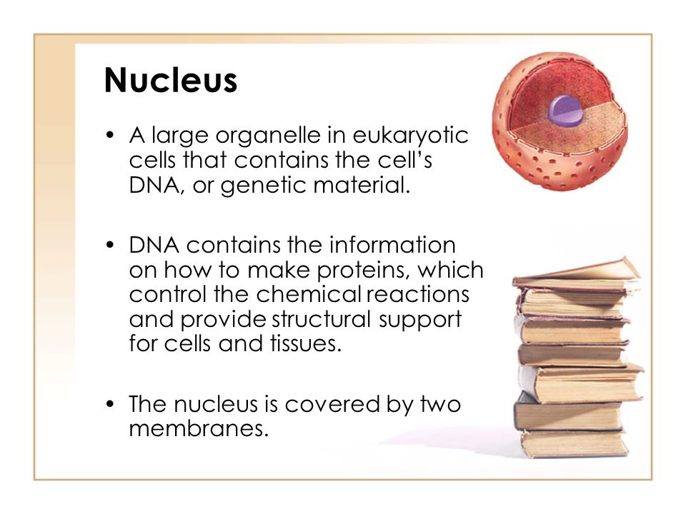 Nucleus A large organelle in eukaryotic cells that contains the cell's DNA, or genetic material.