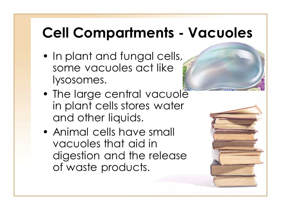 Cell Compartments - Vacuoles