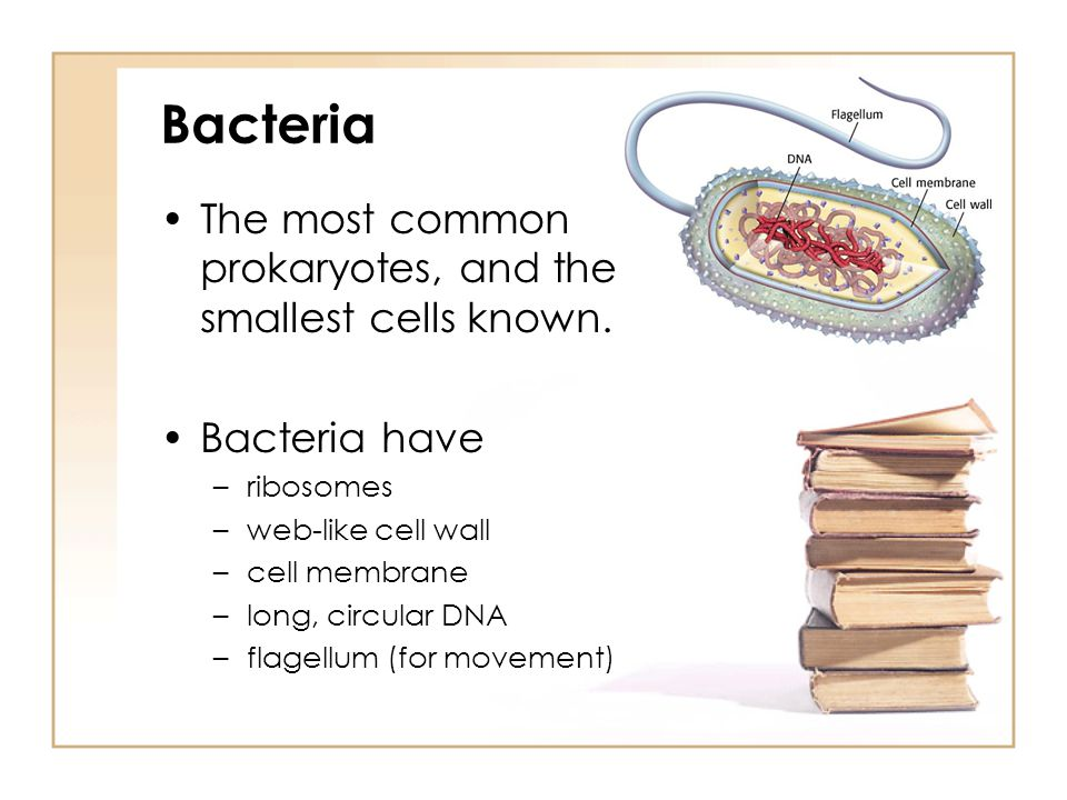 Bacteria The most common prokaryotes, and the smallest cells known.