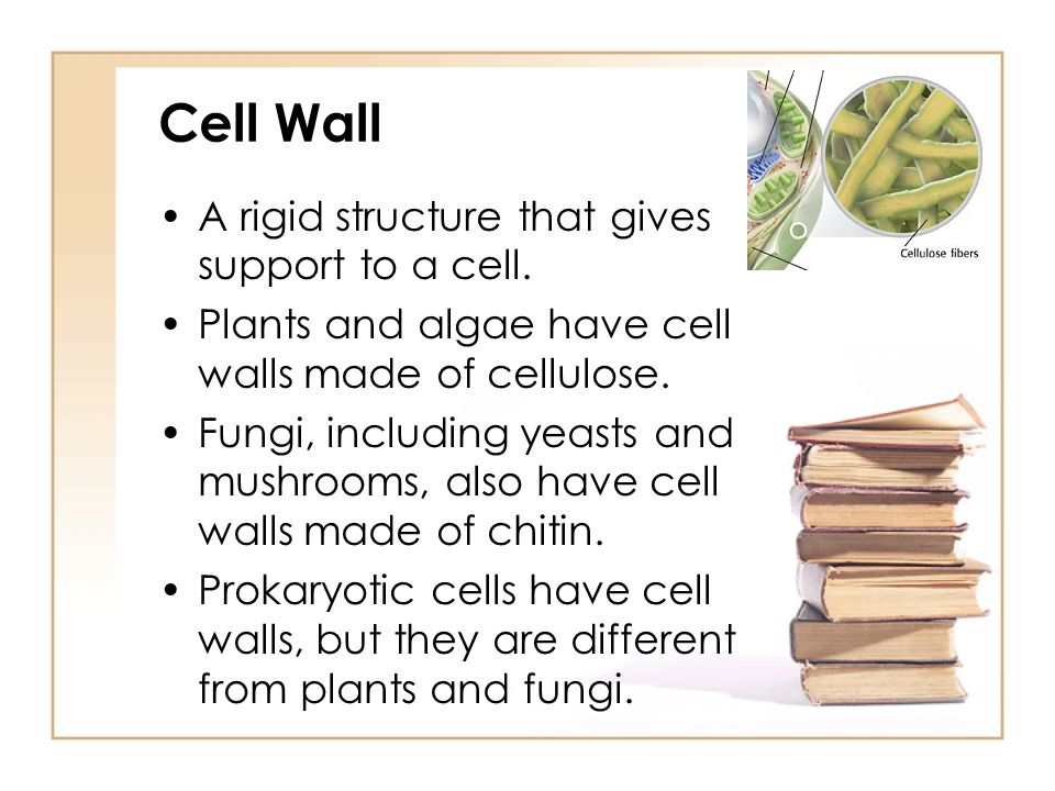 Cell Wall A rigid structure that gives support to a cell.