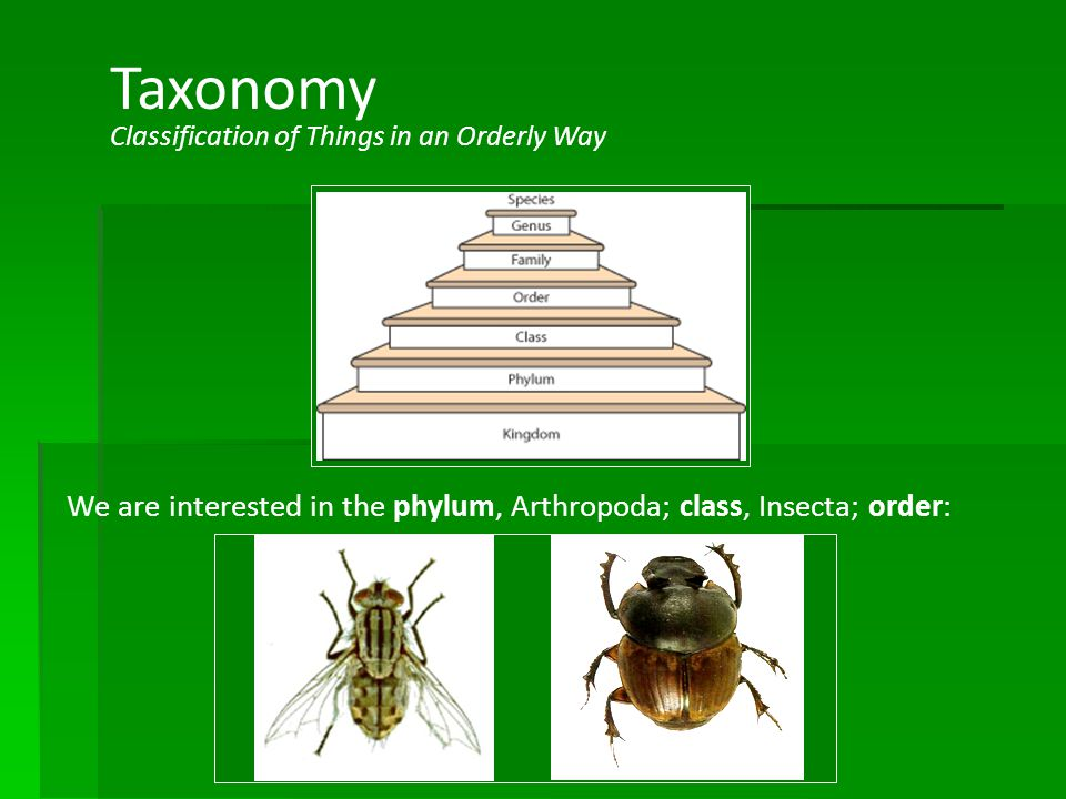 Chapter 12 Taxonomy. Classification of Things in an Orderly Way. We are interested in the phylum, Arthropoda; class, Insecta; order: