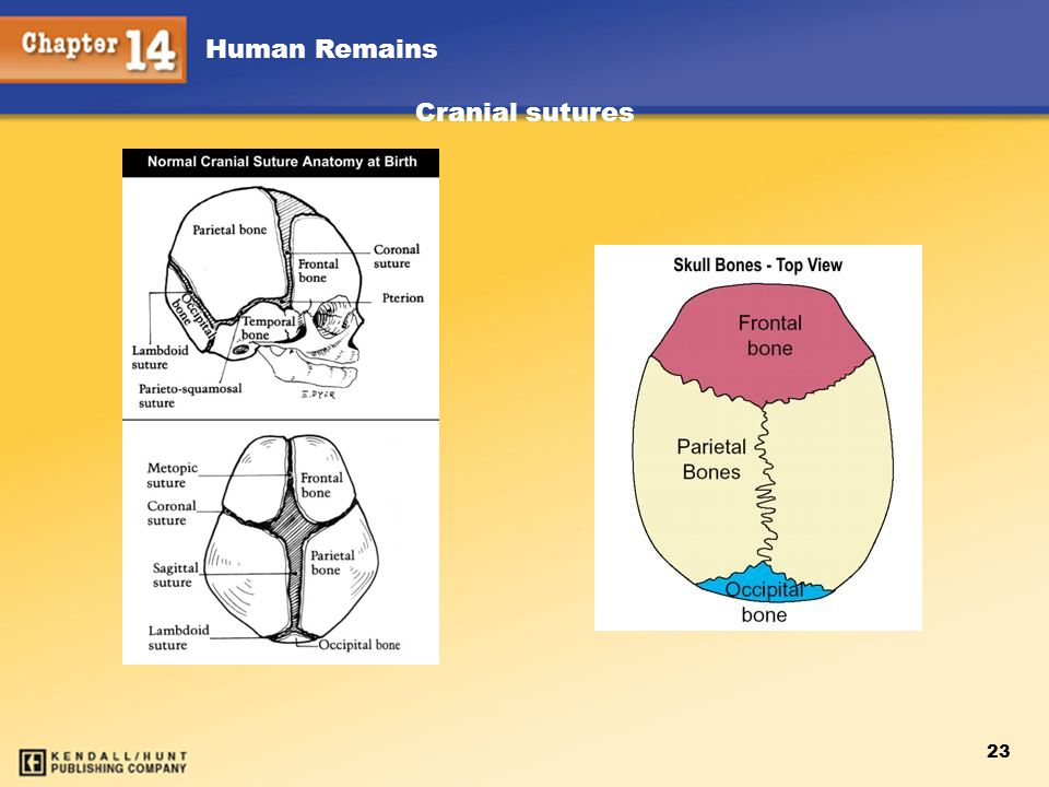 Chapter 12 Chapter 12 Cranial sutures Kendall/Hunt Kendall/Hunt 23