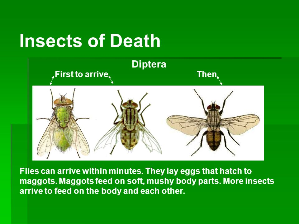 Insects of Death Diptera First to arrive Then