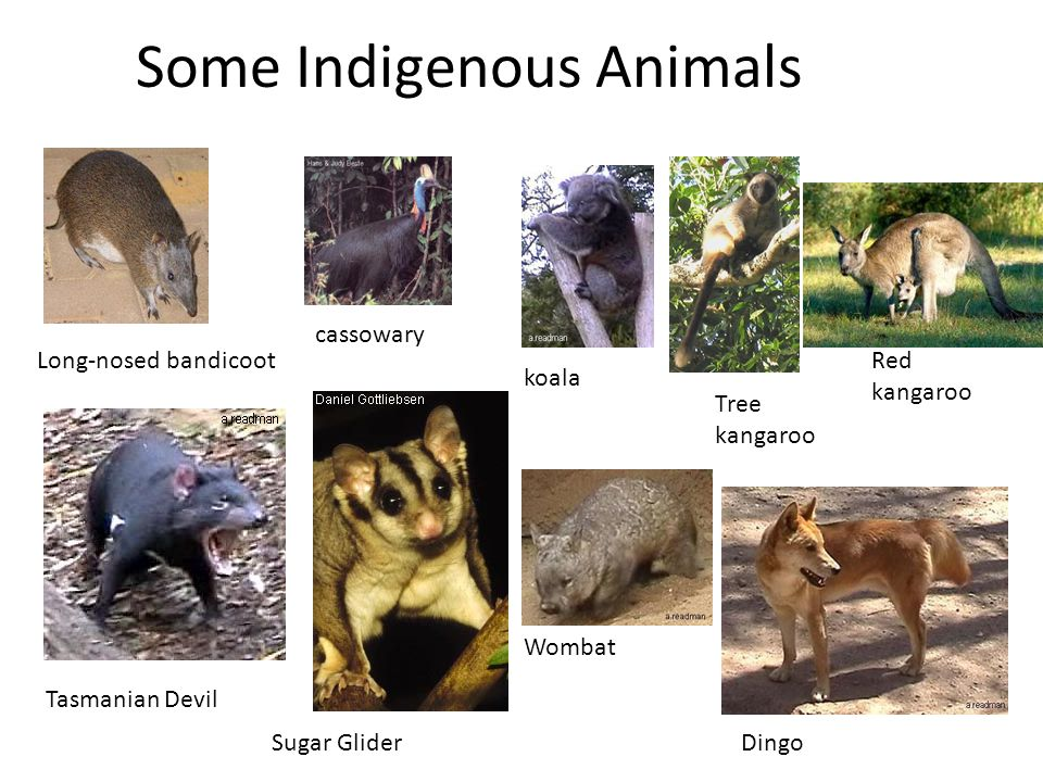 Some Indigenous Animals