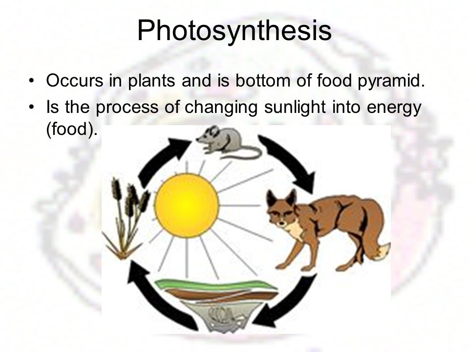 Photosynthesis Occurs in plants and is bottom of food pyramid.