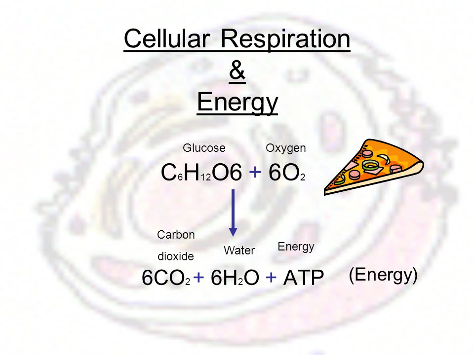 Cellular Respiration & Energy