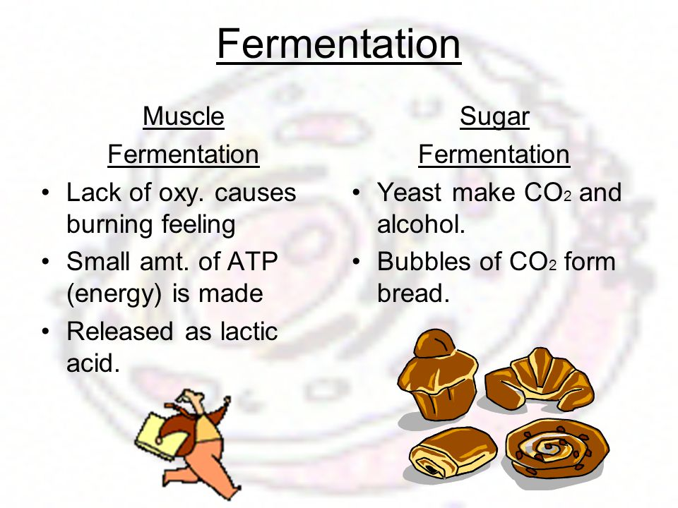 Fermentation Muscle Fermentation Lack of oxy. causes burning feeling