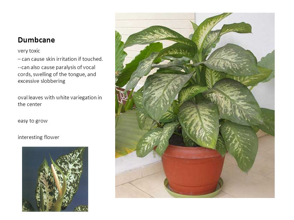 Dumbcane very toxic – can cause skin irritation if touched.