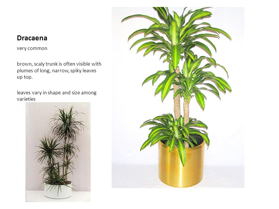 Dracaena very common. brown, scaly trunk is often visible with plumes of long, narrow, spiky leaves up top.