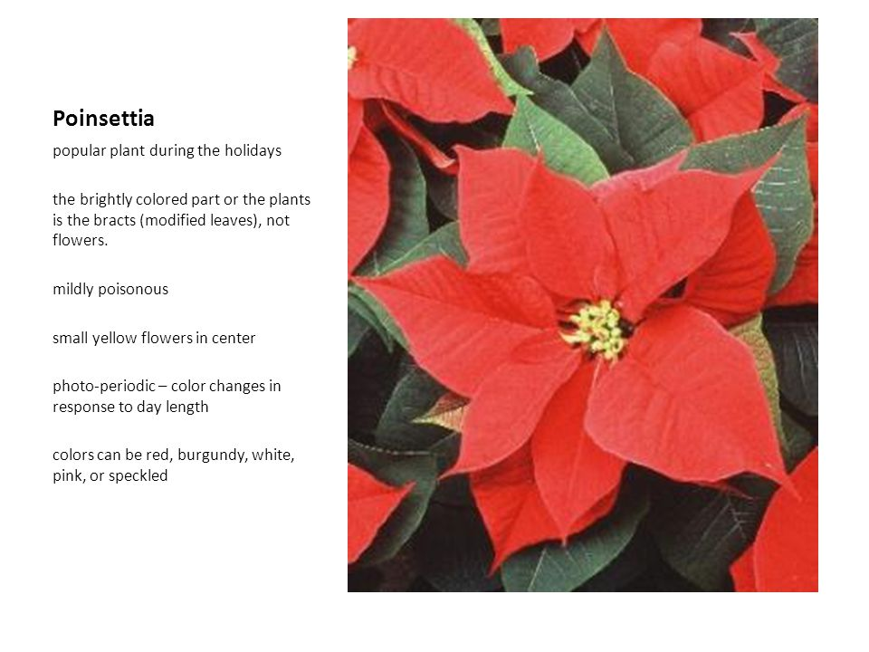 Poinsettia popular plant during the holidays