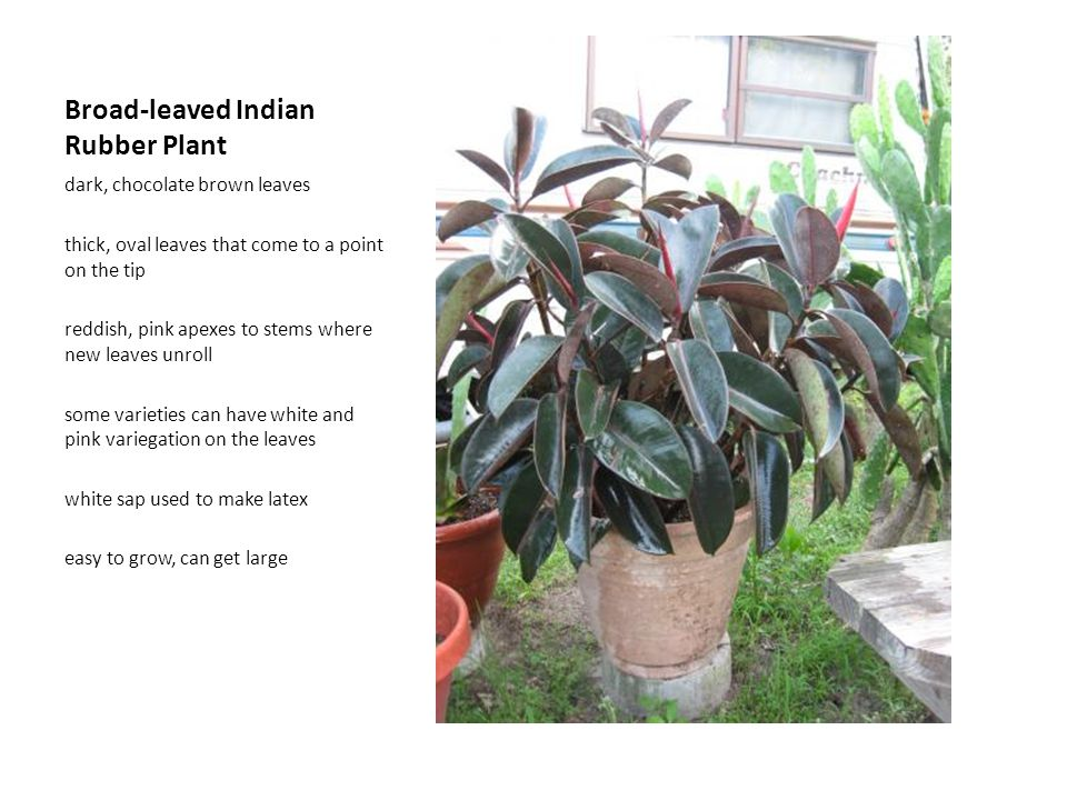 Broad-leaved Indian Rubber Plant