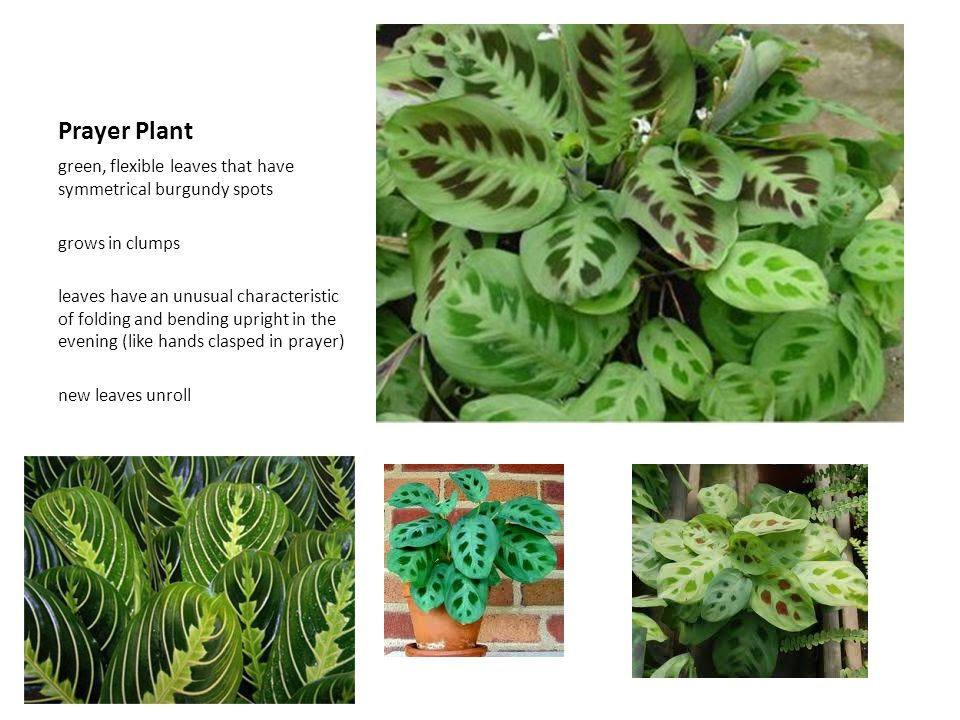 Prayer Plant green, flexible leaves that have symmetrical burgundy spots. grows in clumps.
